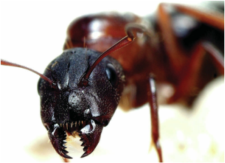 Picture of an ant, which can be eliminated with Richter's Beautification pest control program!