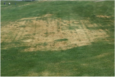 Picture of a lawn disease, ascochyta leaf blight, affects yards and lawns