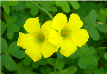 Picture of oxalis, a broadleaf weed, treated for with Richter's Weed Control Program