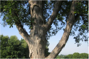 Picture of a hickory tree, a great shade tree that can be treated by Richter's.