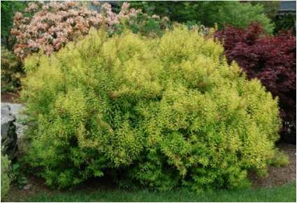 Image of Spirea 'ogon' shrub, a pretty and stand-out shrub for landscaping