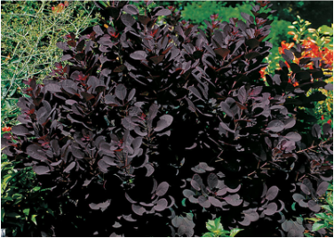 Picture of a gorgeous purple smoke bush, great shrub for landscapes