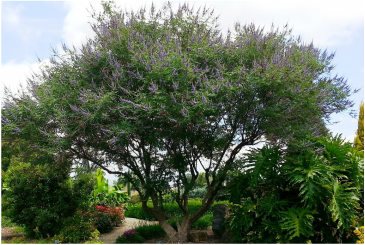 Picture of a chaste tree, an ornamental landscaping tree, beautiful