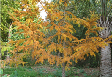 Gorgeous picture of a golden larch tree, great for landscapes