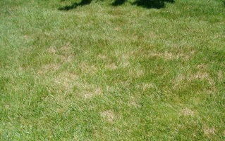 Image showing a lawn infected by a lawn disease, can be treated by Richter's Beautification.