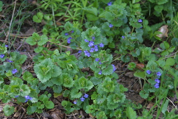 Picture of a weed of the broadleaf variety called ground ivy