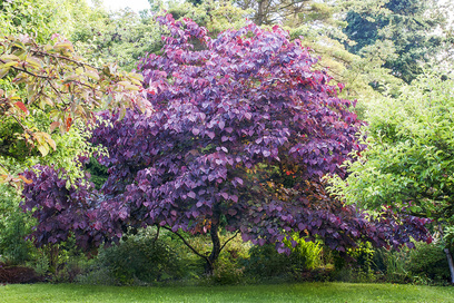 Picture of forest pansy redbud ornamental tree for new landscaping