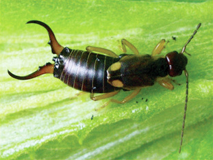 Picture of the pest earwig, can be controlled by Richter's Pest Cotnrol