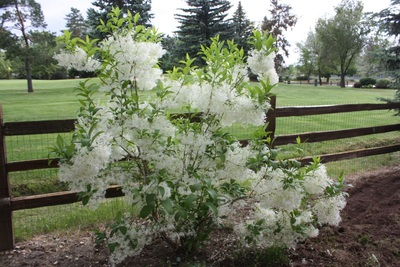 Picture of fringe tree, a unique tree for unique landscaping