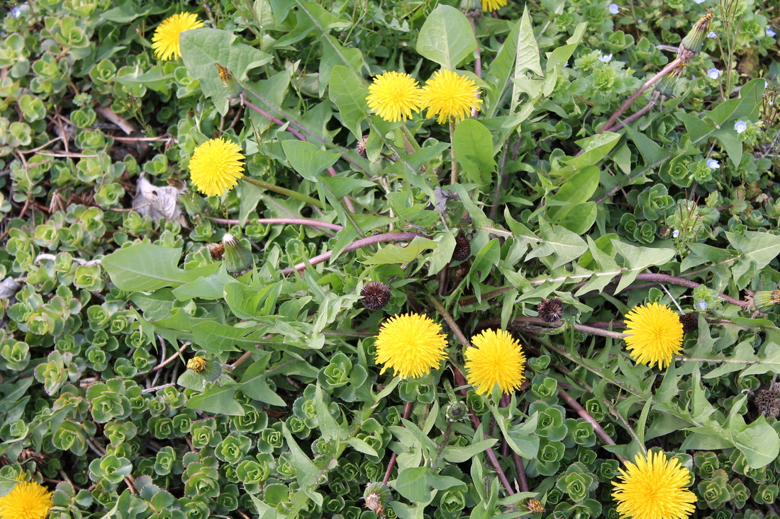 Picture of a dandelion weed, a broadleaf weed, can be treated by Richter's weed control