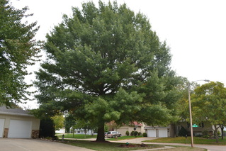 Picture of the Pin Oak tree, a shade tree in Michigan. Treated by Richter's.