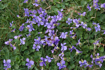 Picture of a broadleaf weed called wild violet, with purple flowers, can be treated for by Richter's