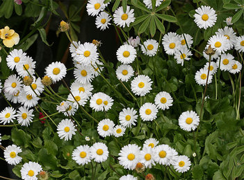 Picture of a broadleaf weed called english daisy. you can get rid of this with Richter's!